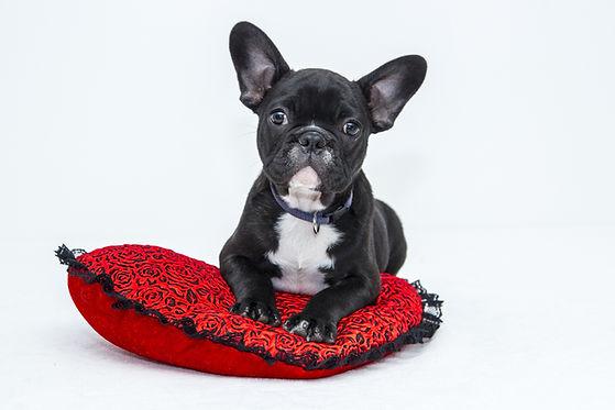 Filhote de cachorro na almofada vermelha