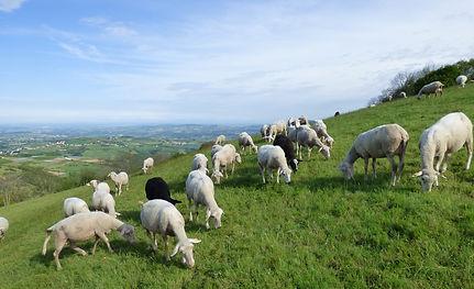 brebis, patûre, brouter, moutons au pré, belle vue
