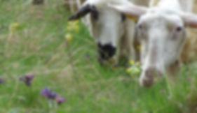 Brebis, laitière, fleurs, brouter, mouton
