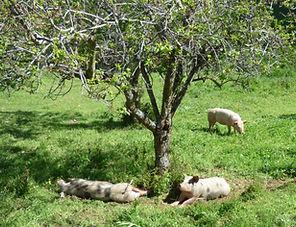 cochons heureux, cochons plein air, cochons au pré, sieste