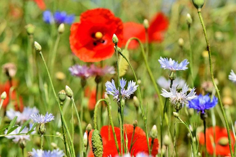 alpine-cornflower-3431590_640.jpg