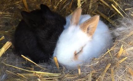 Stone FArm StudyCentre bunnies baby