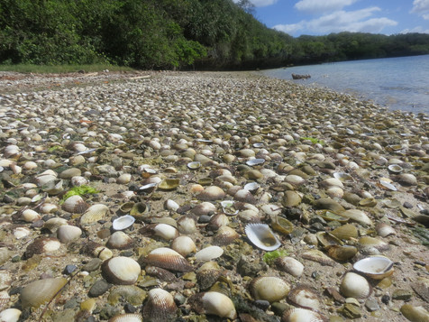 Rich bed of clams, Fiji