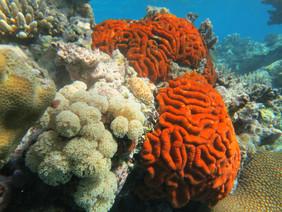 Snorkeling among beautiful coral off the coast of Rabi Island, Fiji