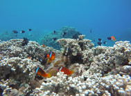 Snorkeling in the Fiji Islands