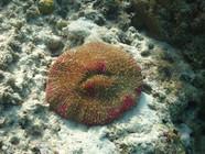 Impressive coral, Fiji