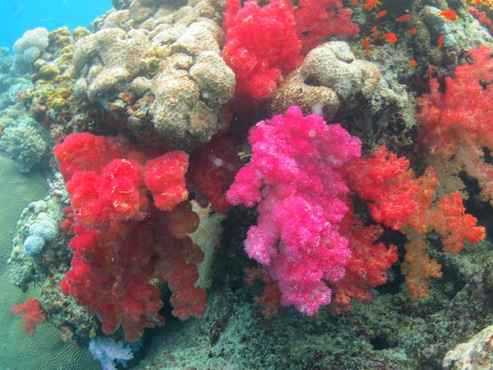 Colorful coral near Rabi Island, Fiji
