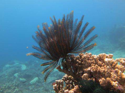 Basket starfish in Taveuni, Fiji