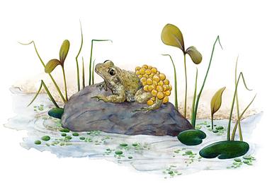 Lucie Fiore Illustration Grenouille Agenda Nature Wapiti