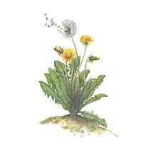 vie buissonniere editions de terran guide nature lucie fiore illustration pissenlit