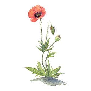 vie buissonniere editions de terran guide nature lucie fiore illustration coquelicot