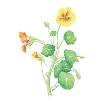 vie buissonniere editions de terran guide nature lucie fiore illustration capucine