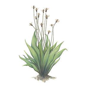 vie buissonniere editions de terran guide nature lucie fiore illustration plantain