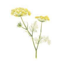 vie buissonniere editions de terran guide nature lucie fiore illustration fenouil