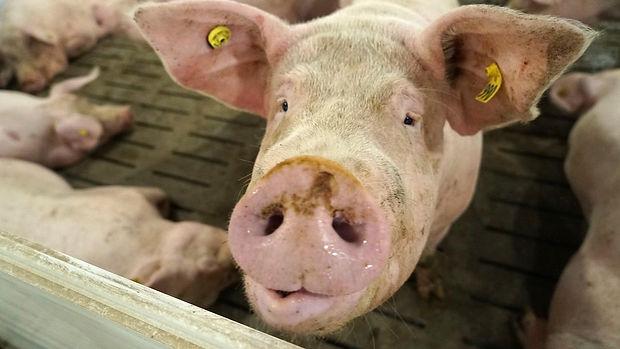 porc-cochon-2.jpg