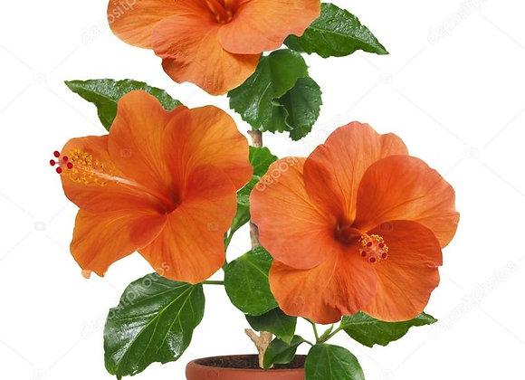 Hibiskus(Japon Gülü)