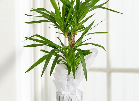 2 li Tropik Yucca Bitkisi