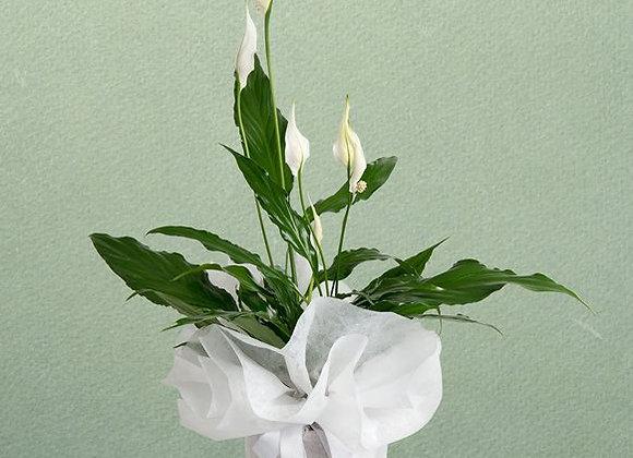Spatifilyum (Barış çiçeği)