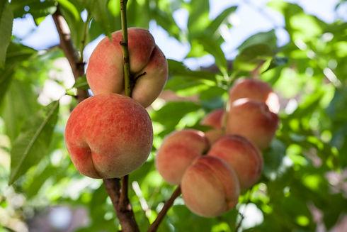 white-peaches-on-branch-1200x800.jpg