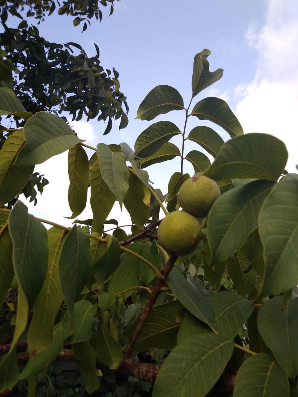 Плоды мандарина