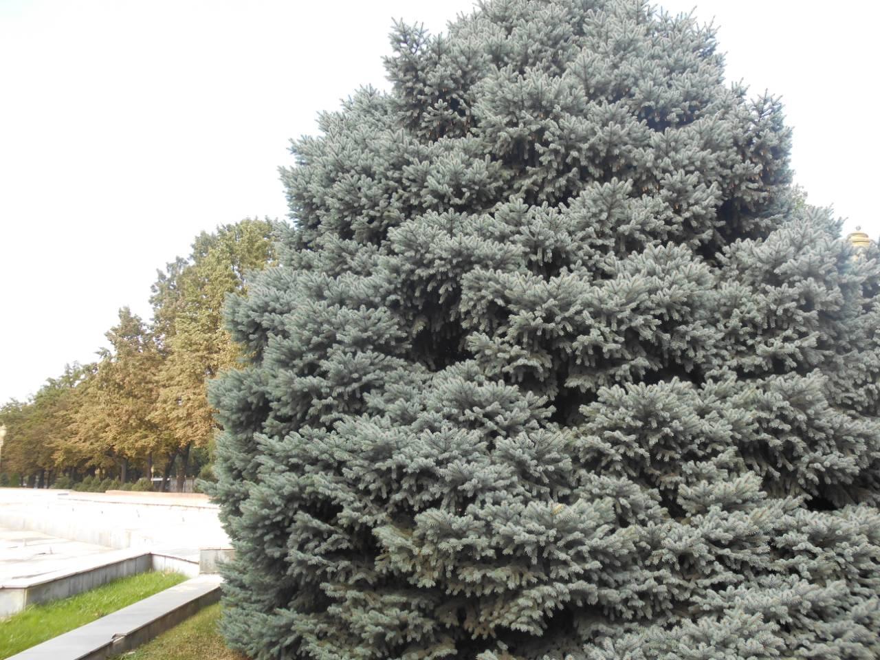 Голубая тянь-шаньская ель