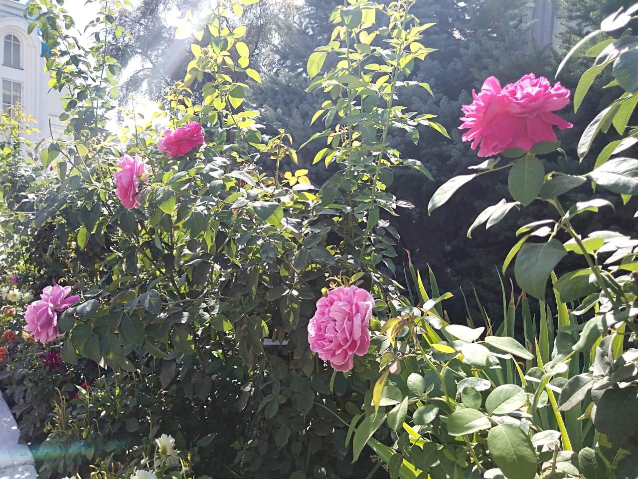 Розы класса Альба