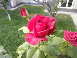 Бурбонская роза