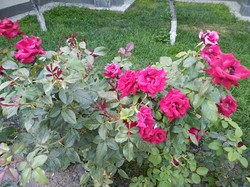 Розы сорта La France