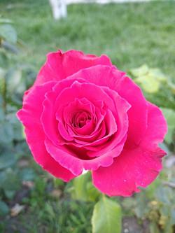 Илимбер - бурбонская роза