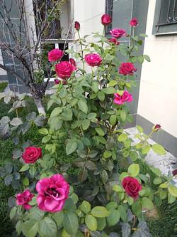 Гибрид китайской розы