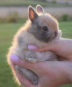 Cutest Bunnies Netherland Dwarf Bunny Rabbit