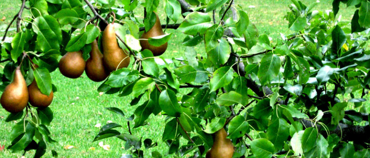 DO NOT EAT OF YOUNG FRUIT TREES 3YRS