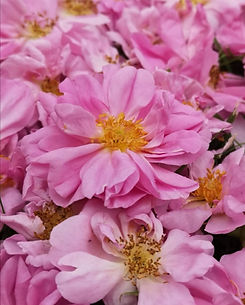 rose damascena flowers.jpg