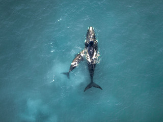 Whale mother and calf
