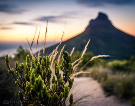 Kloof corner plant with Lions Head in distance