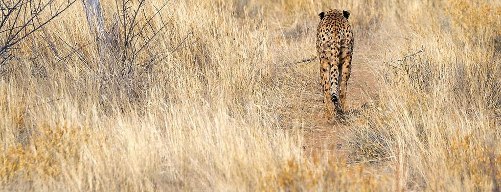 Cheetah in Erindi