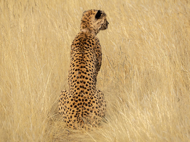 Cheetah in the open planes