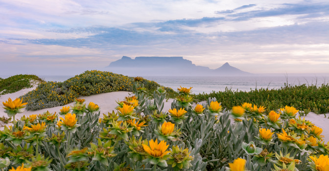 Table Mountain yellow flowers