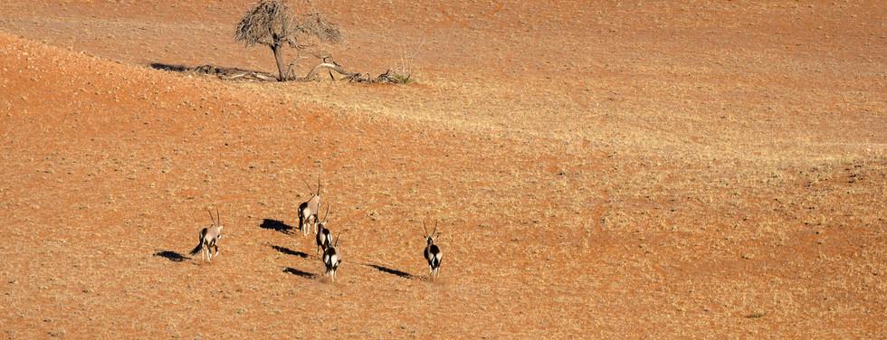 herd of Oryx