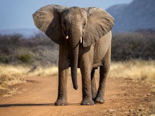 Elephant in Erindi game reserve