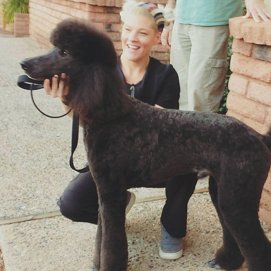 Dog grooming, Standard Poode, Sedona