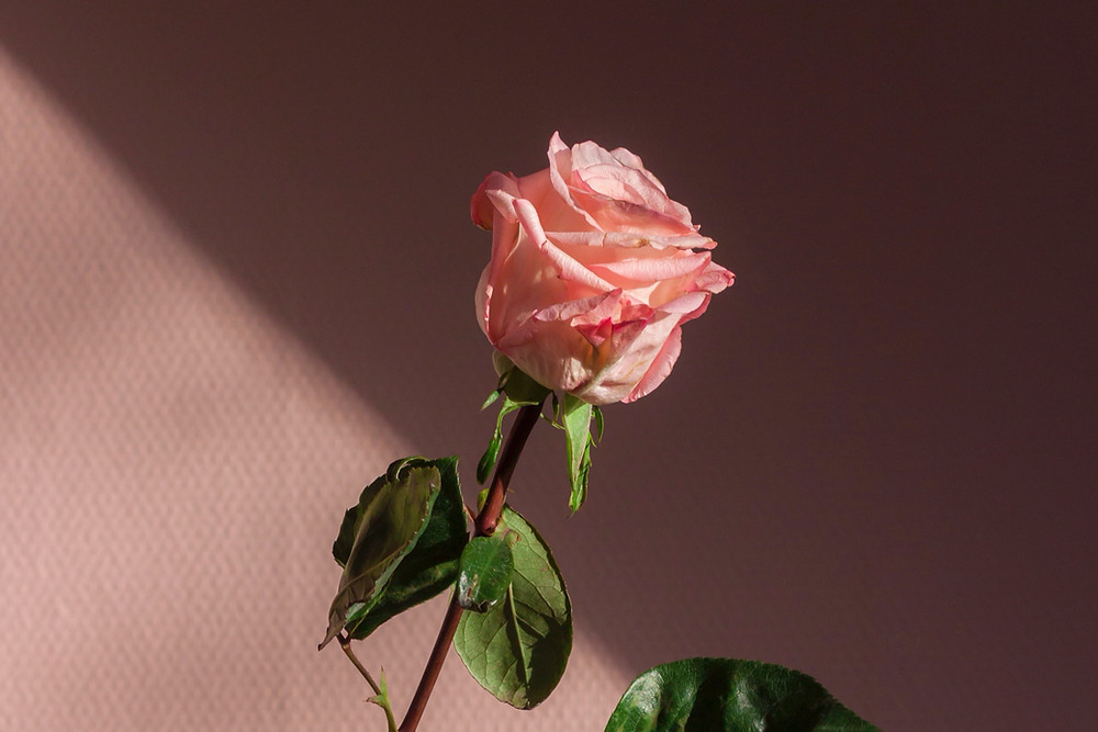 A pink rose of love