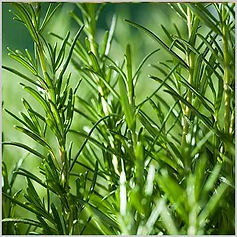 3347-rosemary-400x400-icon.jpg.webp