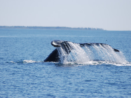 Whale Watching off the Coast of Grand Manan Island
