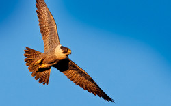 Falco peregrinus.