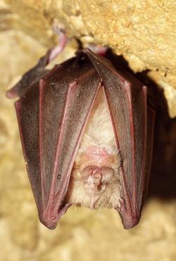 Rhinolophus ferrumequinum..