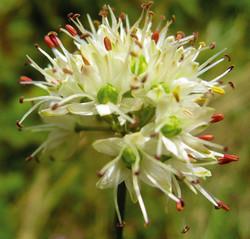Allium ericetorum.