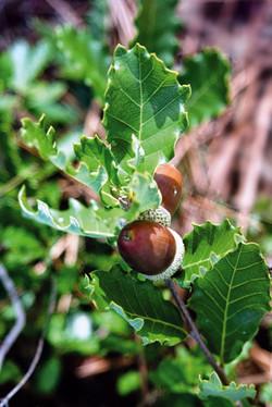Quercus lusitanica.