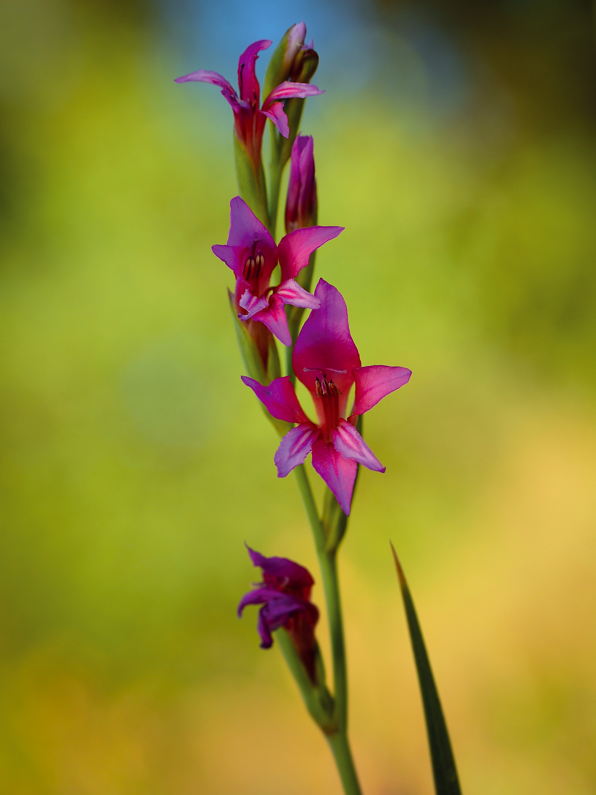 Gladiolus illyricus.