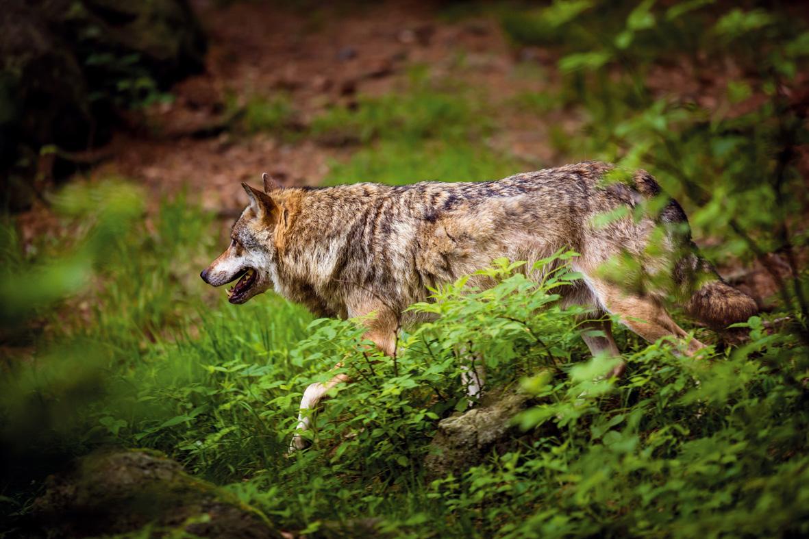 Canis Lupus Signatus. Lobo ibérico